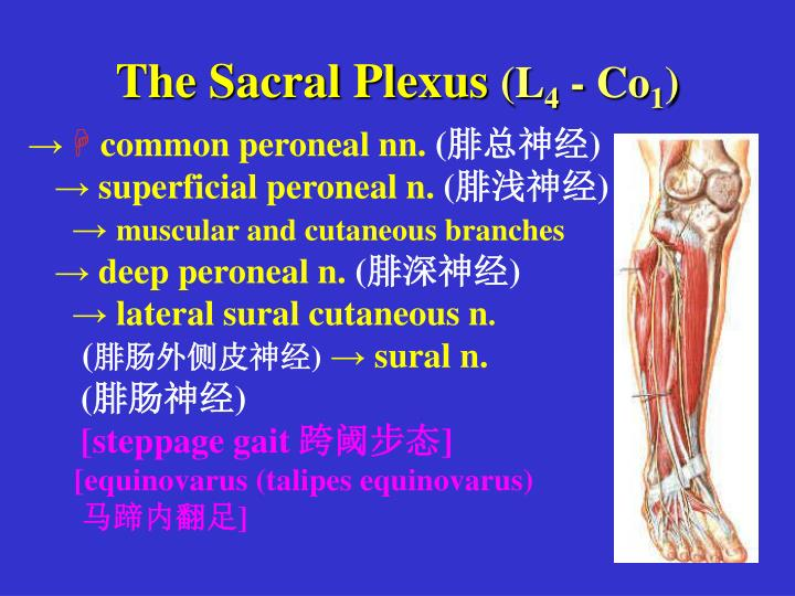 The Sacral Plexus