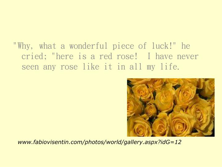 """""""Why, what a wonderful piece of luck!"""" he cried; """"here is a red rose!  I have never seen any rose like it in all my life."""