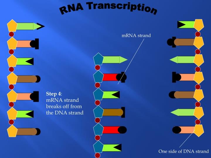 RNA Transcription