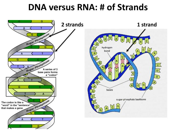 DNA versus RNA: # of Strands