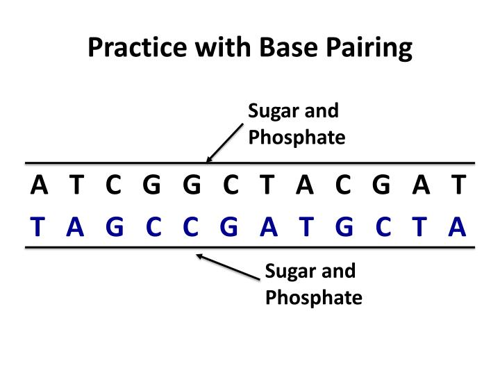 Practice with Base Pairing