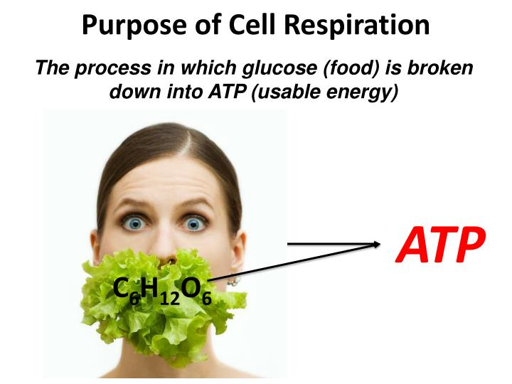 Purpose of Cell Respiration