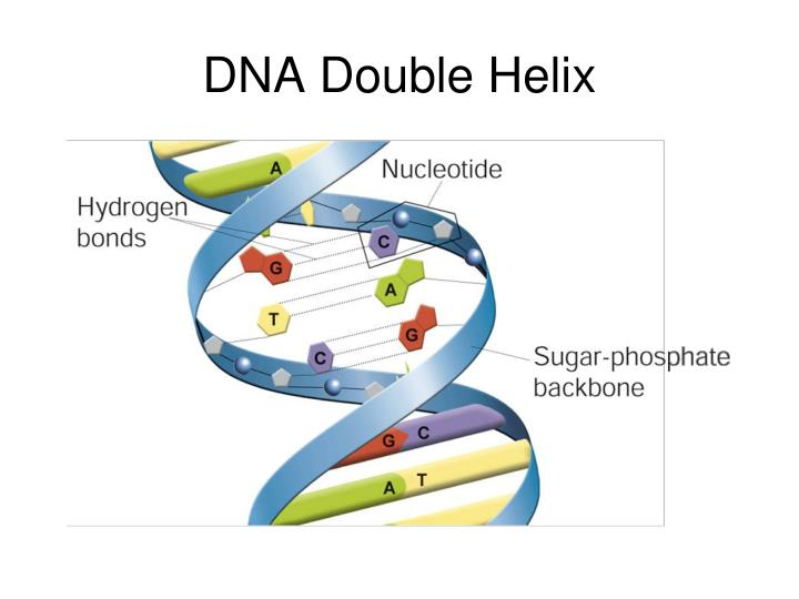 Ppt the blueprint of life from dna to protein powerpoint dna double helix malvernweather Images