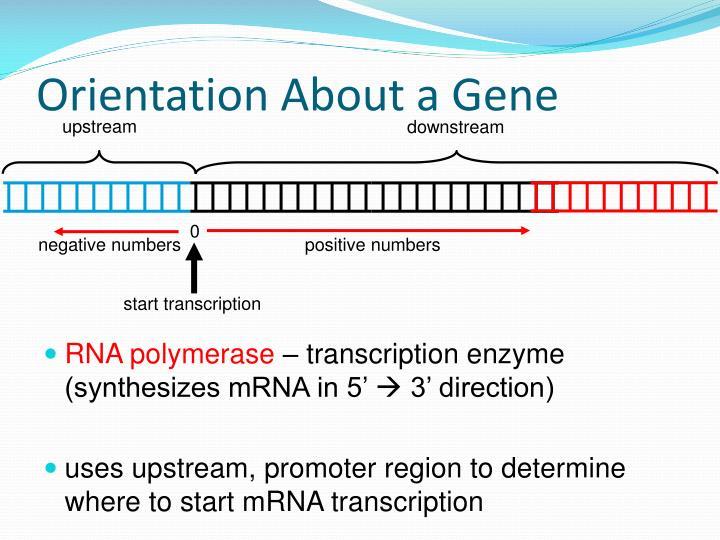 Orientation About a Gene