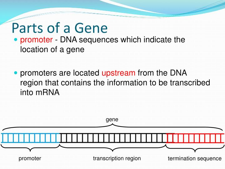 Parts of a Gene