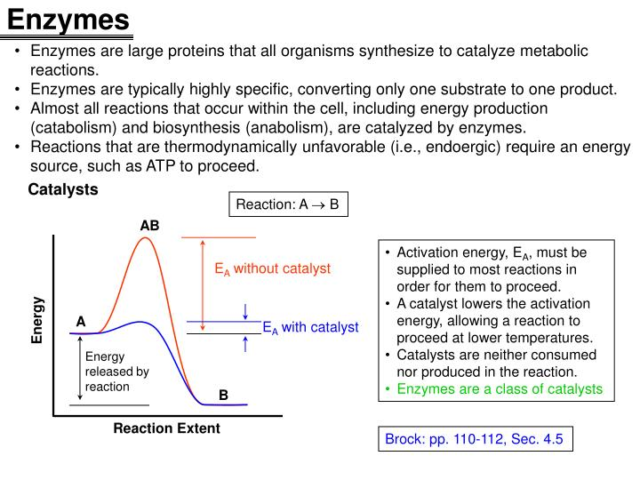 lab enzymes protein catalysts Enzymes are catalytic proteins that speed up chemical reactions without enzymes, biological reactions would occur at a much slower rate or not at all like other proteins, enzymes are made of long chains of amino acids held together by peptide bonds.