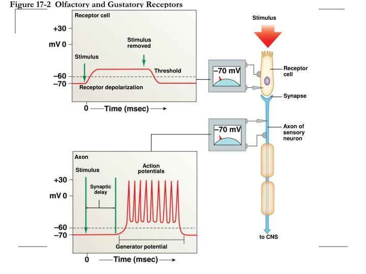 action potential and receptor olfactory receptor