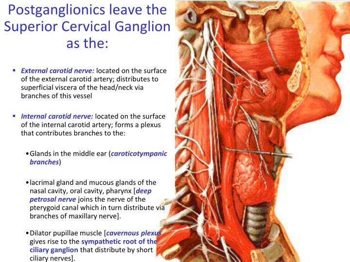 PPT - Gross Anatomy: Review of Autonomics in the Head and Neck ...