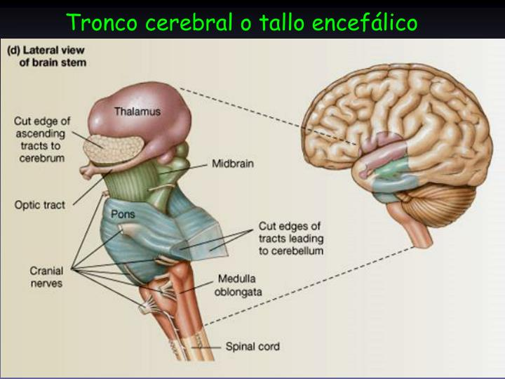 PPT - Tronco cerebral. Nervios craneales PowerPoint Presentation ...