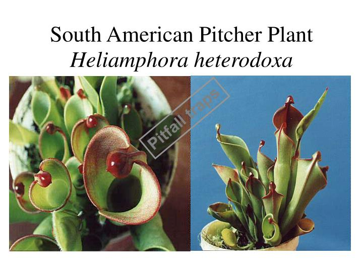South American Pitcher Plant