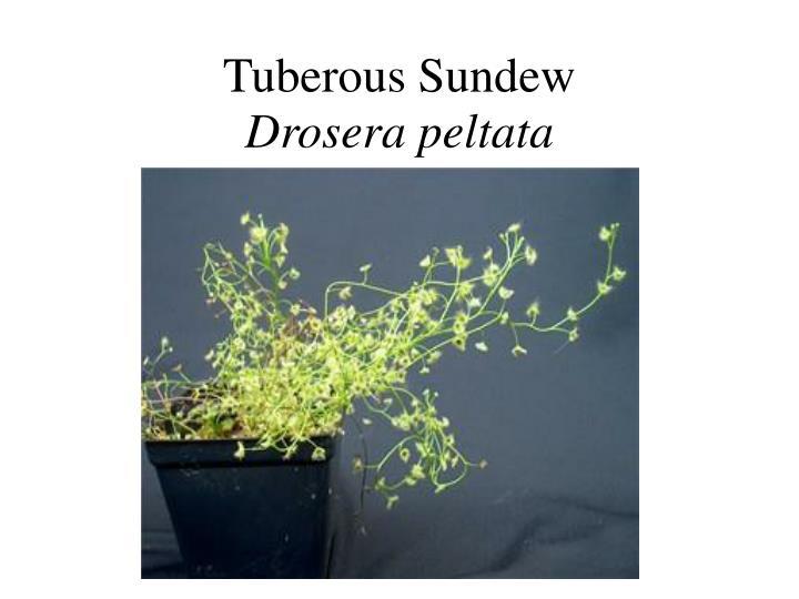Tuberous Sundew