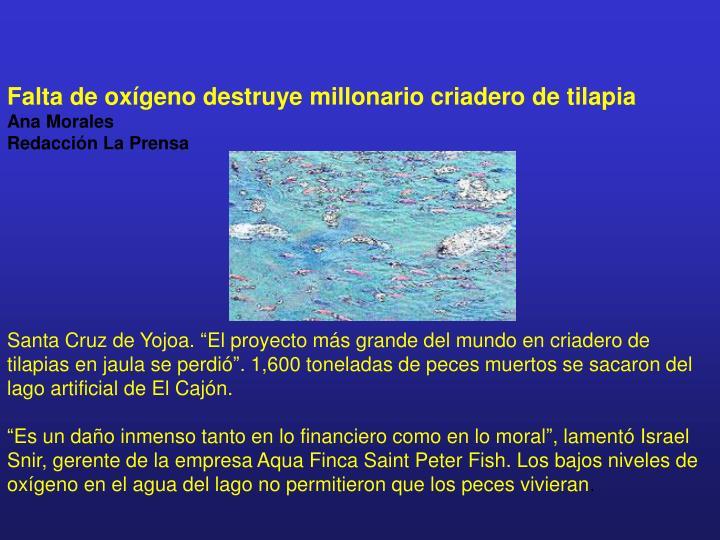 Falta de oxígeno destruye millonario criadero de tilapia