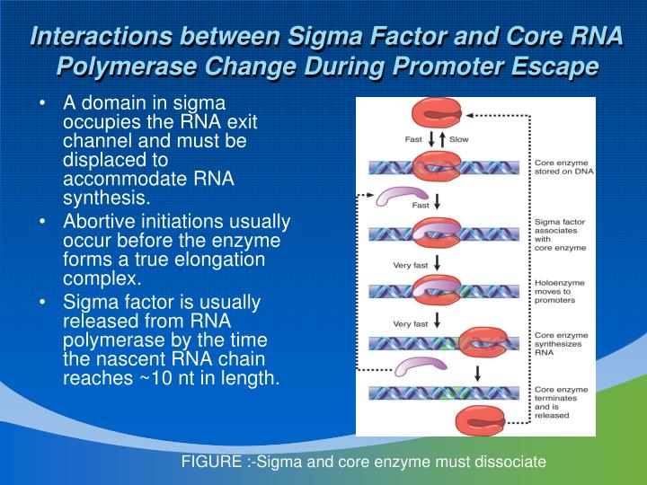 Interactions between Sigma Factor and Core RNA Polymerase Change During Promoter Escape