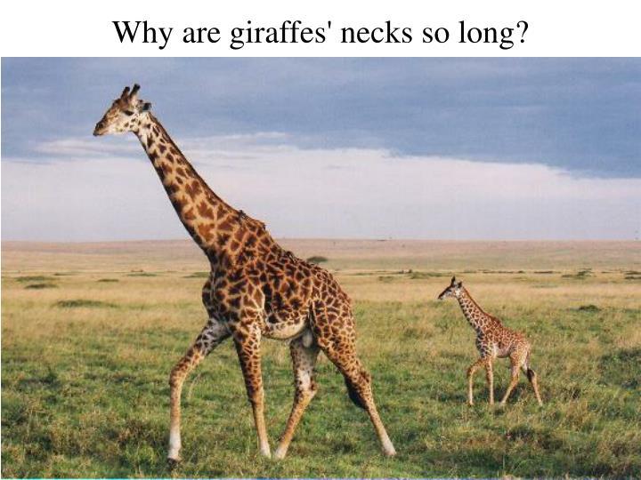 Why are giraffes' necks so long?