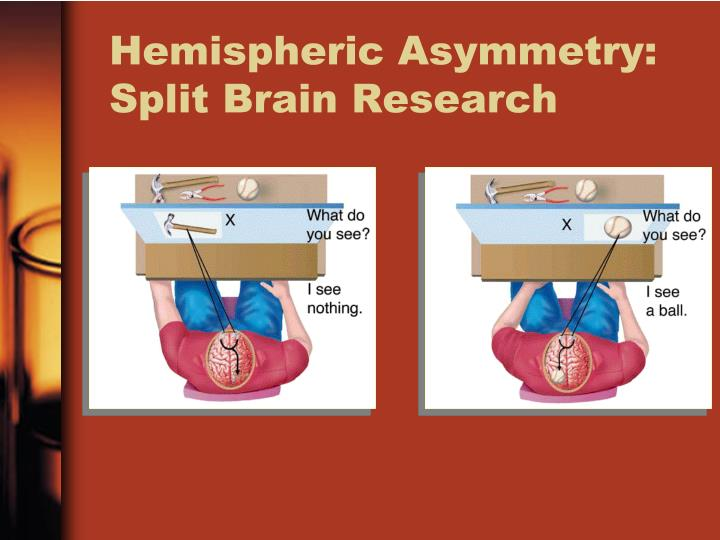 a look at the study of hemispheric asymmetry within the cerebral cortex Asymmetry of cerebral hemispheres the presence of asymmetry in the human cerebral hemispheres is detectable at both the macroscopic and microscopic levels an association between these asymmetries is inferred but not yet supported by statistical analysis.