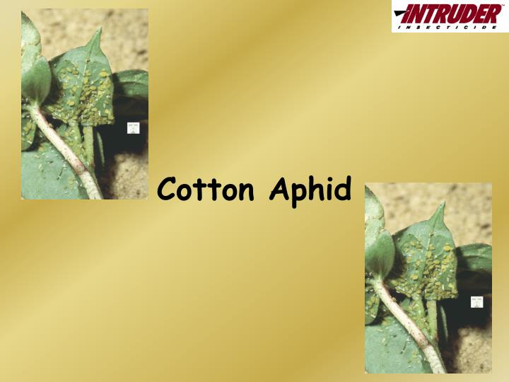 cotton aphid n.