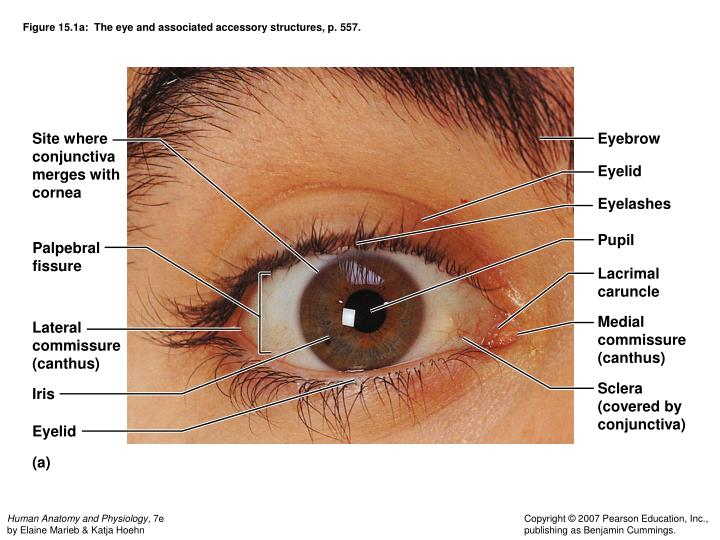Figure 15.1a:  The eye and associated accessory structures, p. 557.