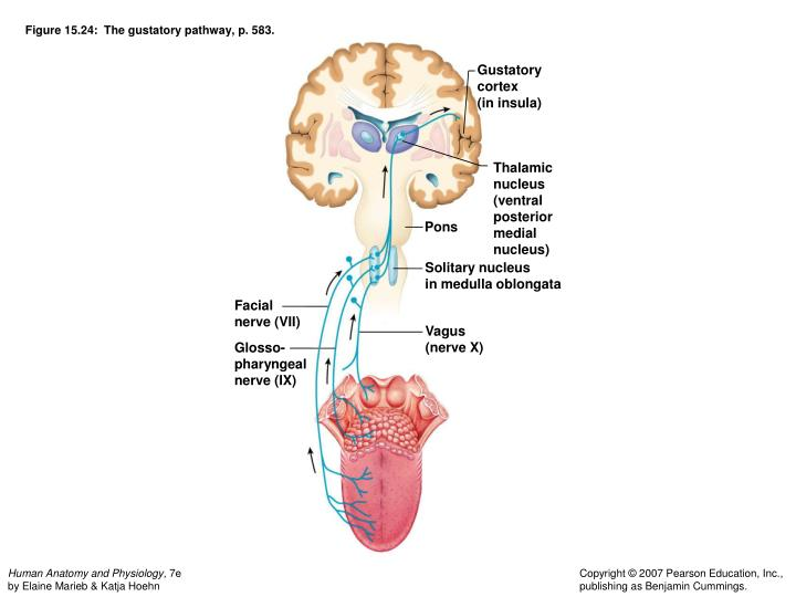 Figure 15.24:  The gustatory pathway, p. 583.