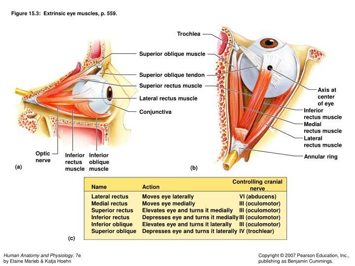 Figure 15.3:  Extrinsic eye muscles, p. 559.