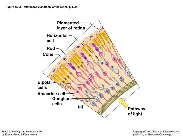 Figure 15.6a:  Microscopic anatomy of the retina, p. 562.