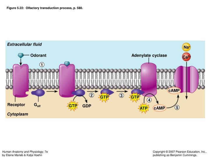 Figure 5.22:  Olfactory transduction process, p. 580.