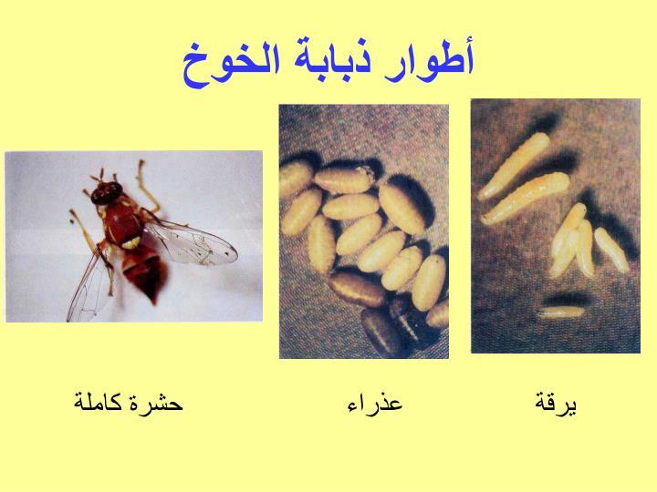 أطوار ذبابة الخوخ