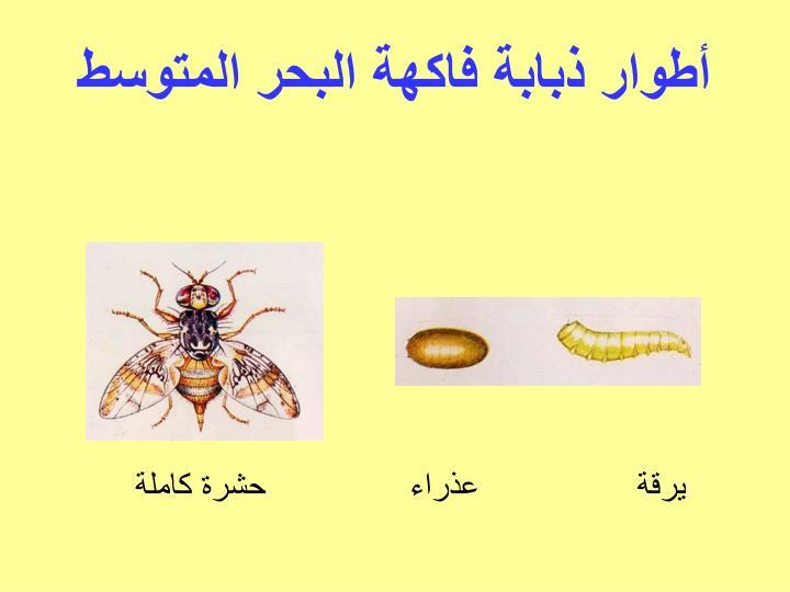 أطوار ذبابة فاكهة البحر المتوسط