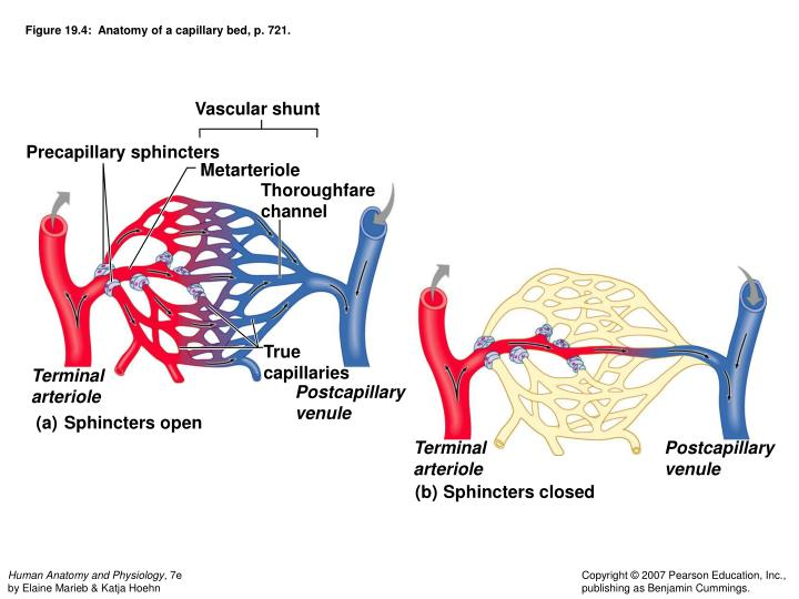 Ppt Chapter 19 Cardiovascular System Blood Vessels Powerpoint