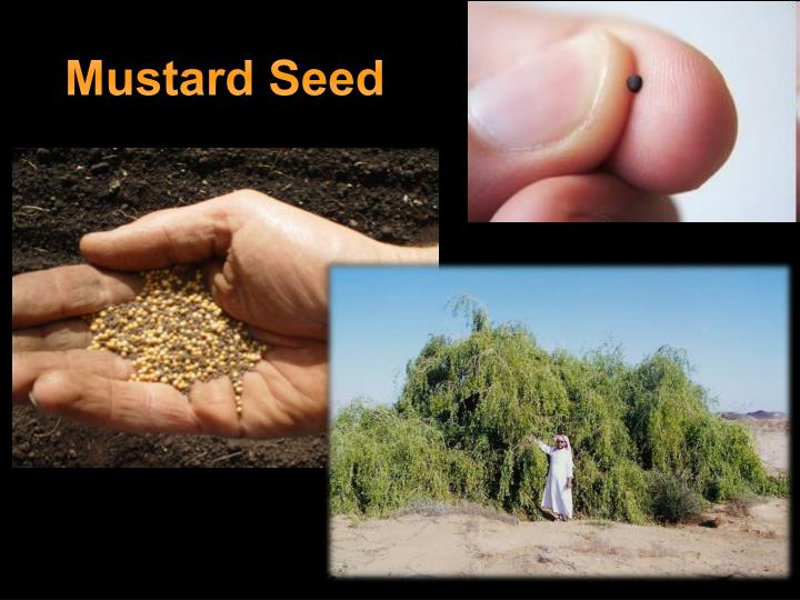 parable of the mustard seed Chapter 2 the parable of the mustard seed theme big things can come from small beginnings suggested pshe learning outcome ks1: 1b) sharing opinions on things that matter to us.