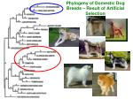 phylogeny of domestic dog breeds result of artificial selection