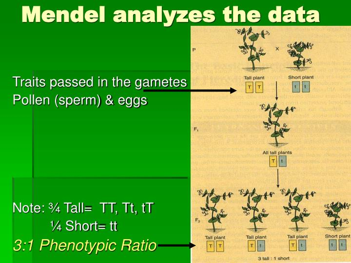 Mendel analyzes the data