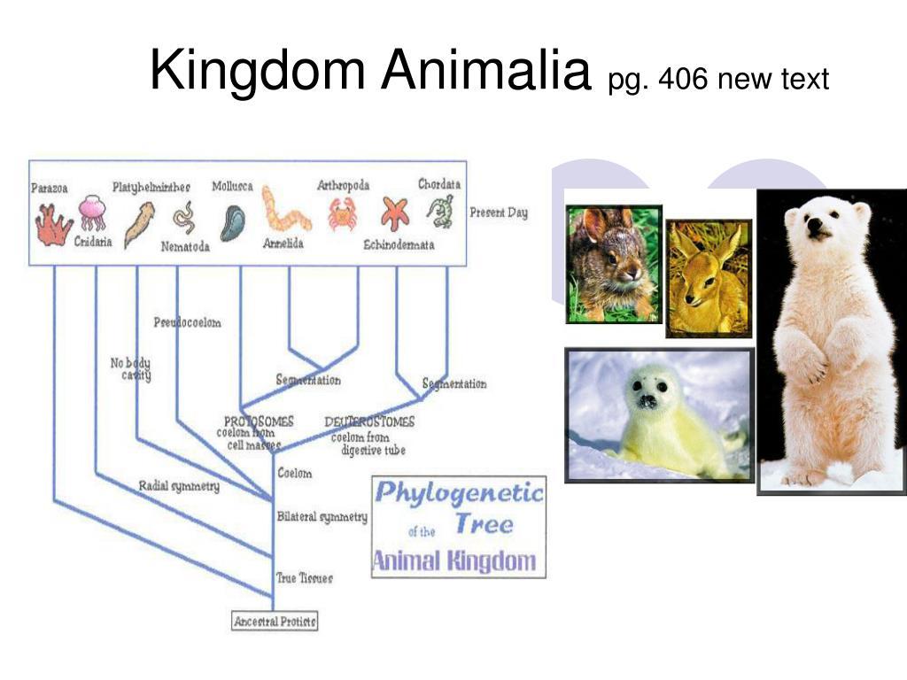 Image of: Plantae Kingdom Animalia Pg 406 New Text N Slideserve Ppt Kingdom Animalia Pg 406 New Text Powerpoint Presentation Id