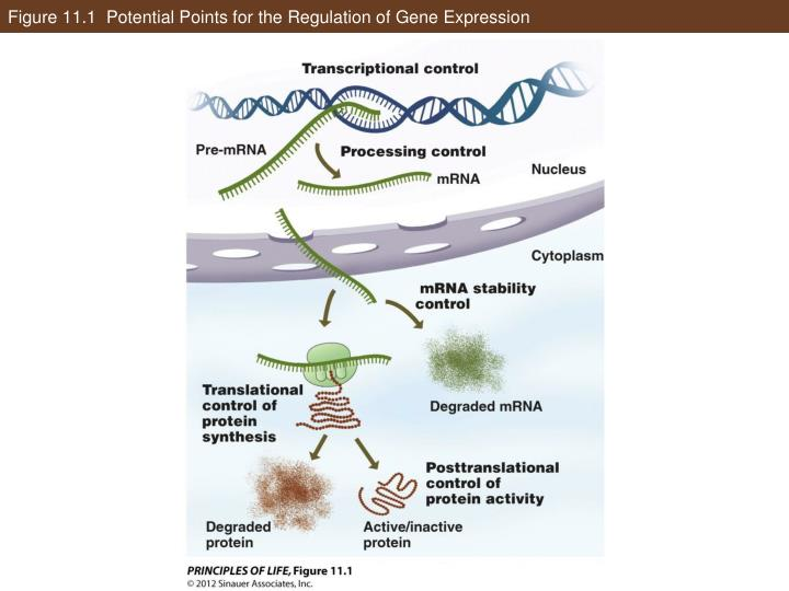 Figure 11 1 potential points for the regulation of gene expression