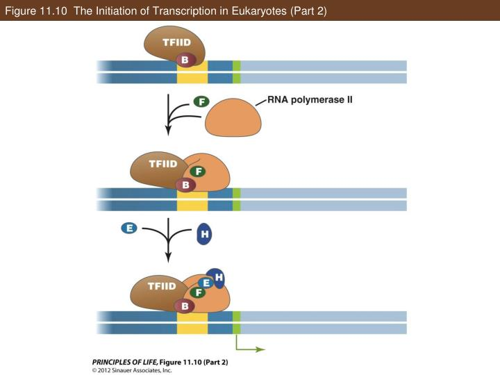 Figure 11.10  The Initiation of Transcription in Eukaryotes (Part 2)