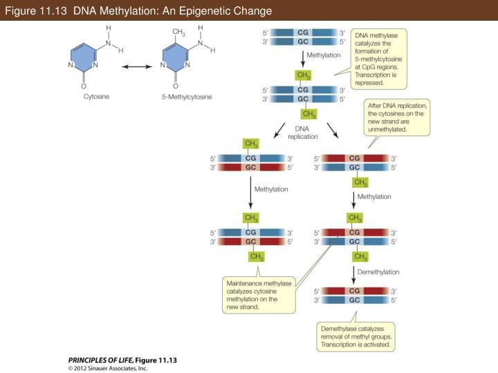 Figure 11.13  DNA Methylation: An Epigenetic Change