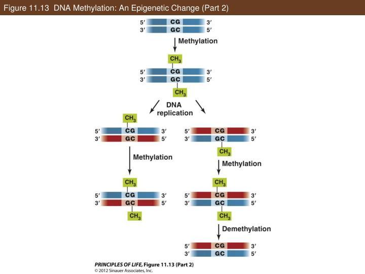 Figure 11.13  DNA Methylation: An Epigenetic Change (Part 2)