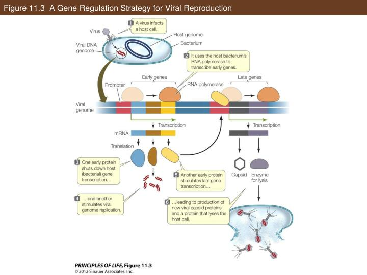 Figure 11.3  A Gene Regulation Strategy for Viral Reproduction