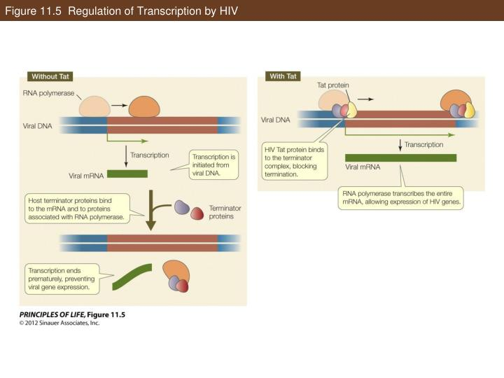 Figure 11.5  Regulation of Transcription by HIV