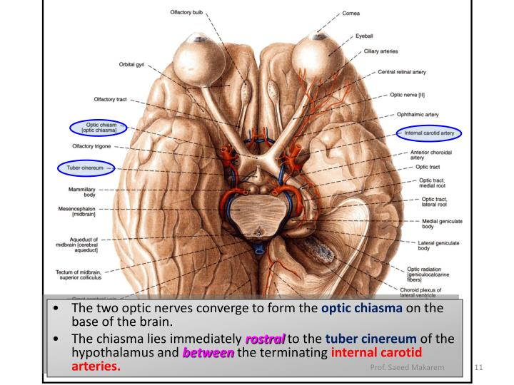 The two optic nerves converge to form the