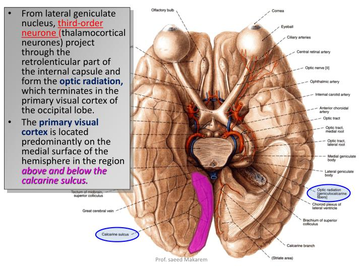 From lateral geniculate nucleus,