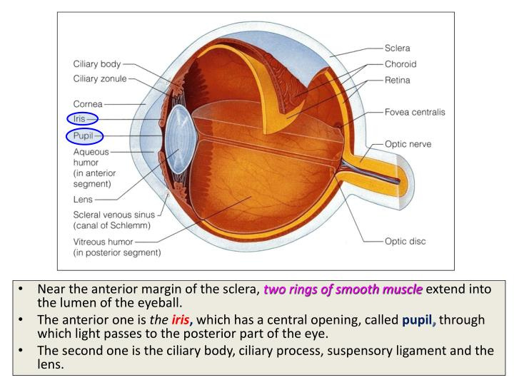 Near the anterior margin of the sclera,