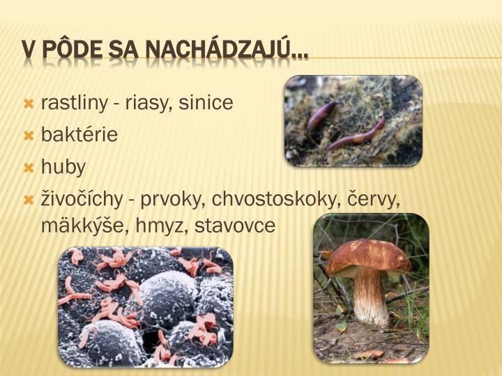 rastliny - riasy,