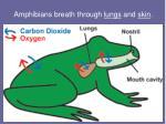 amphibians breath through lungs and skin