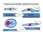 trypanosomatidae geli me formlar