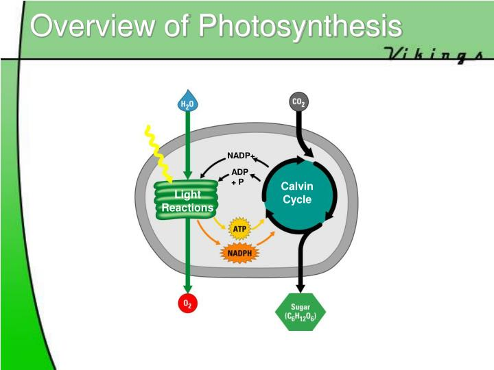 photosynthesis overview Photosynthesis is how plants manufacture their own food this study guide will help you learn the essential steps of photosynthesis.