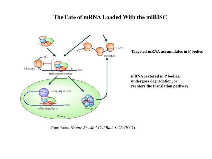 The Fate of mRNA Loaded With the miRISC
