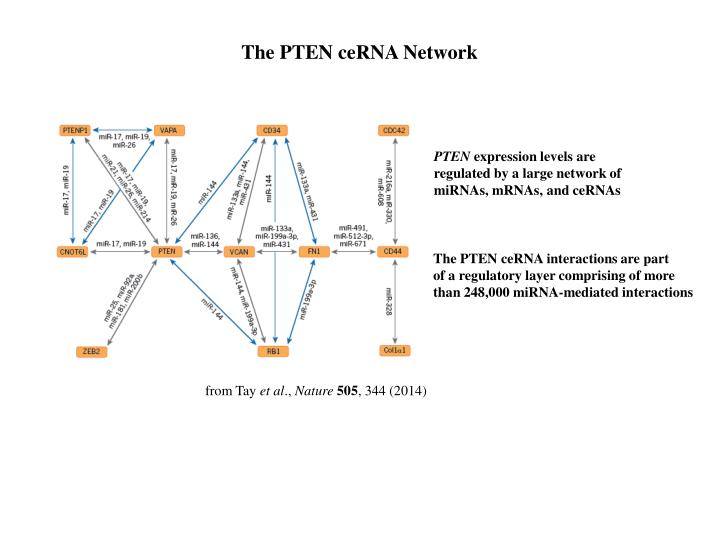 The PTEN ceRNA Network