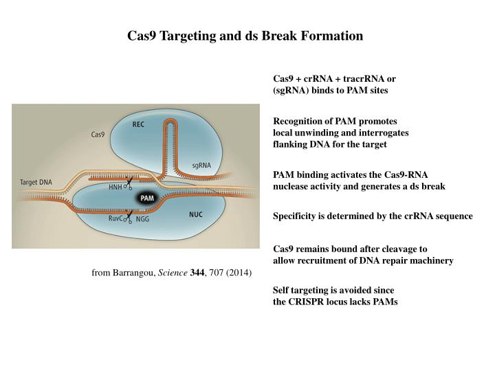 Cas9 Targeting and ds Break Formation