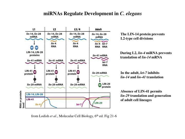 miRNAs Regulate Development in