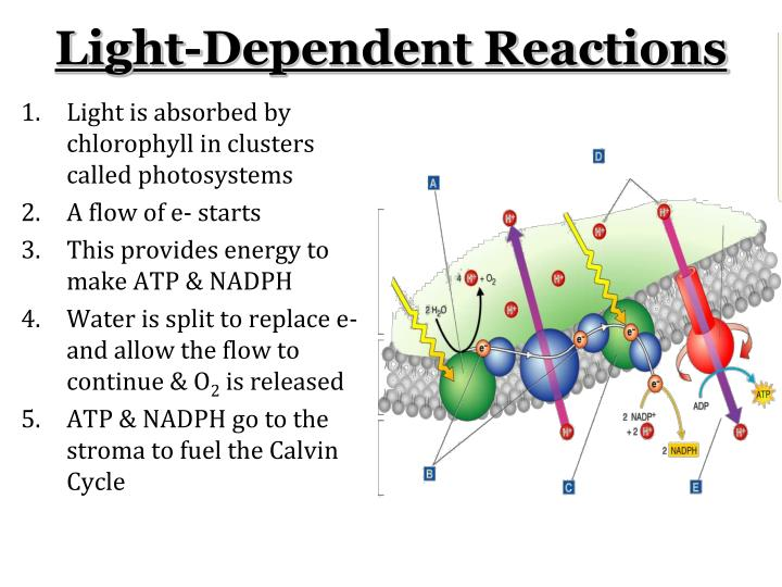 Light is absorbed by chlorophyll in clusters called photosystems